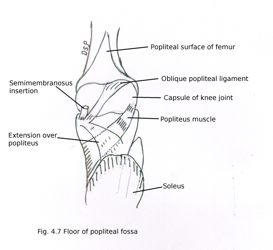 Back Of Thigh And Popliteal Fossa Myhumananatomy