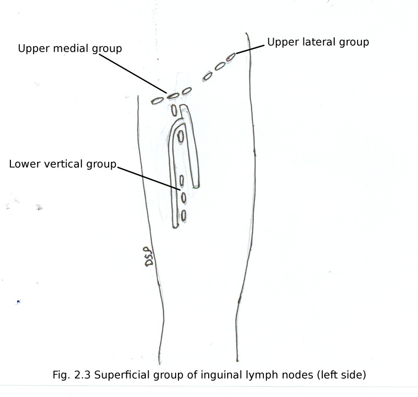Front Of Thigh And Medial Side Of Thigh Myhumananatomy