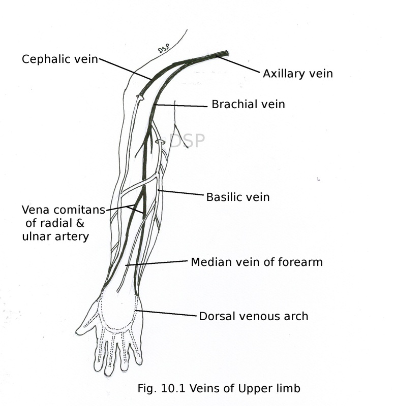 superficial structures - myhumananatomy, Cephalic Vein