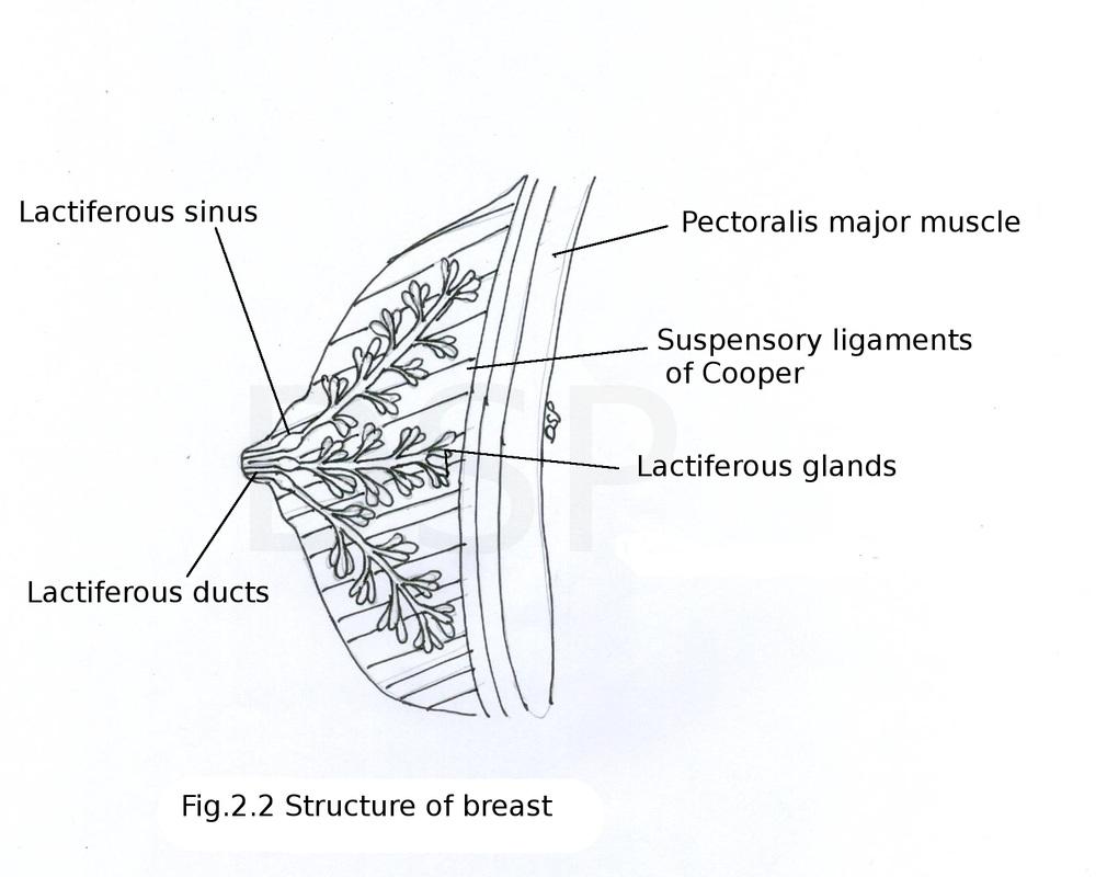 Pectoral region - myhumananatomy