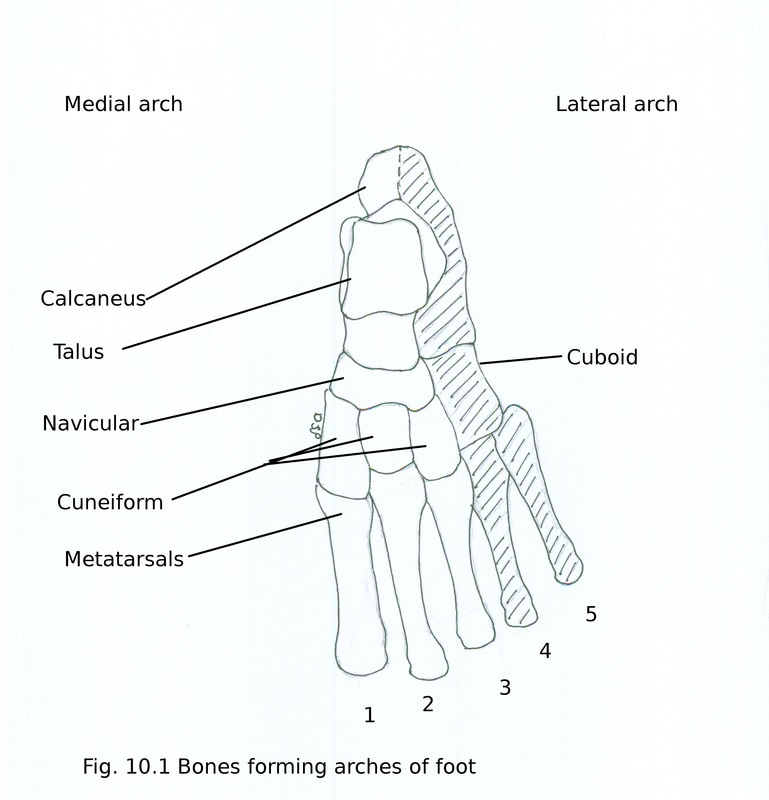 Arches of foot - myhumananatomy