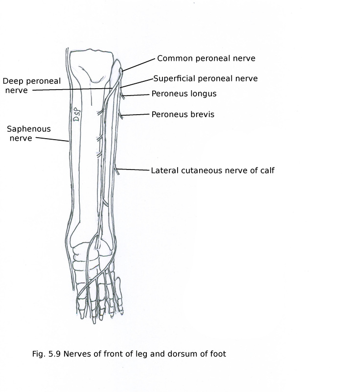 Front Of Leg And Dorsum Of Foot Myhumananatomy