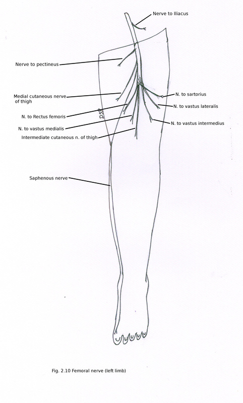 right side and ventral aspect of thigh muscles sartorius